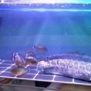 把一条5斤的黑鱼,扔进食人鱼缸里面,看谁才是真正的淡水之王?